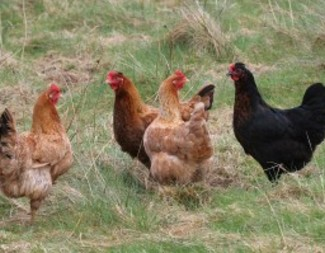 Search chicken flock 300x200