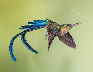 Search violet tailed sylph
